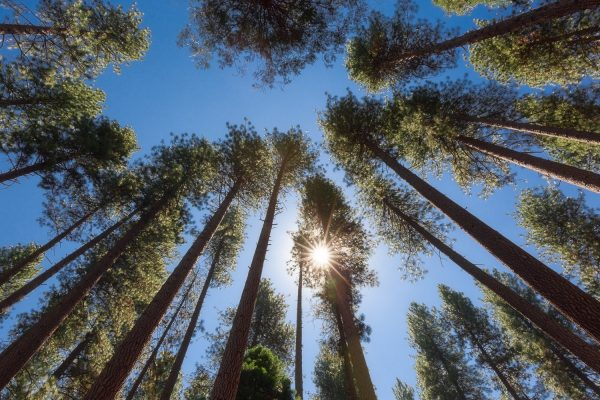 Looking up to see a gathering of redwood trees and a sunstar and blue skies from a campground in Yosemite National Park