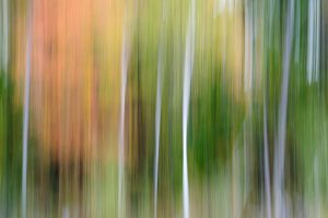 An abstract photo of white birch trees and green and red fall foliage.