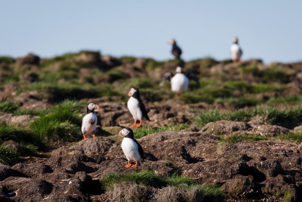 Puffins at Elliston Puffin viewing site in Newfoundland Canada